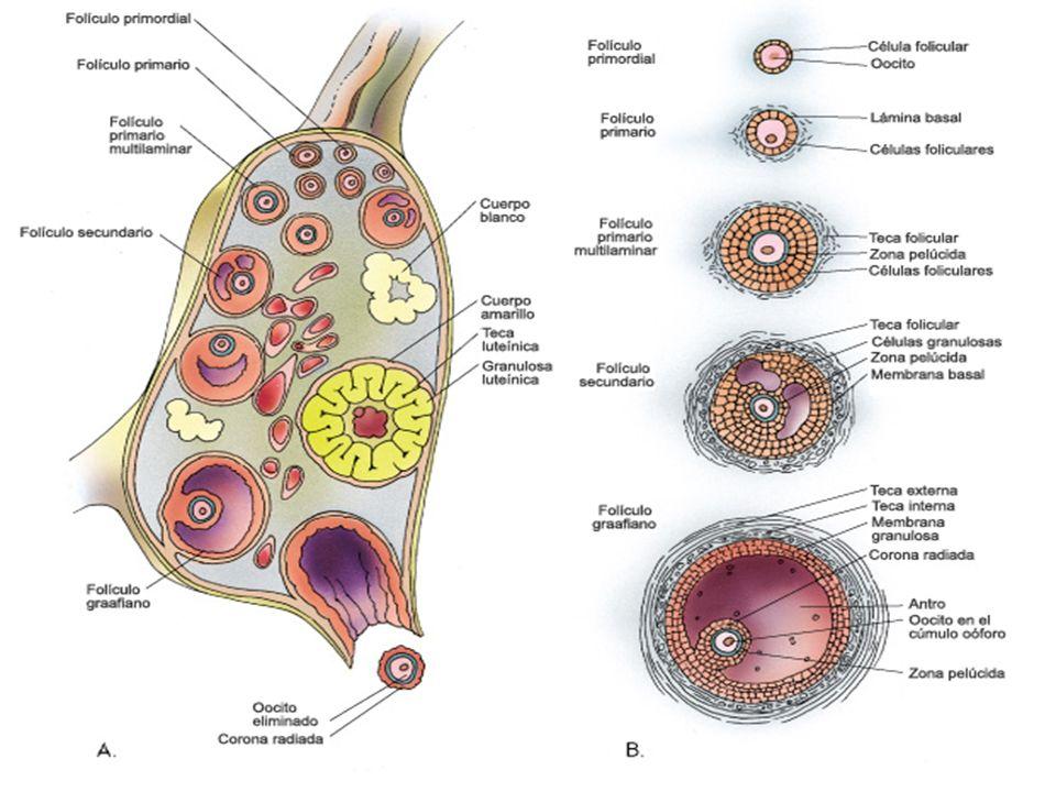 Glándula mamaria lactante sus secreciones son apocrinas IGA Tubuloalveolar compuesta inmunidad pasiva