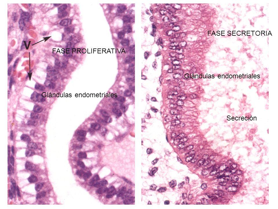 Glándulas endometriales Secreción FASE PROLIFERATIVA FASE SECRETORIA