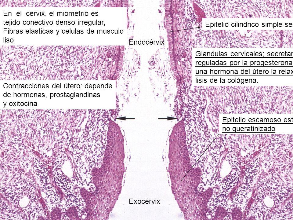 Exocérvix Endocérvix En el cervix, el miometrio es tejido conectivo denso irregular, Fibras elasticas y celulas de musculo liso Contracciones del úter