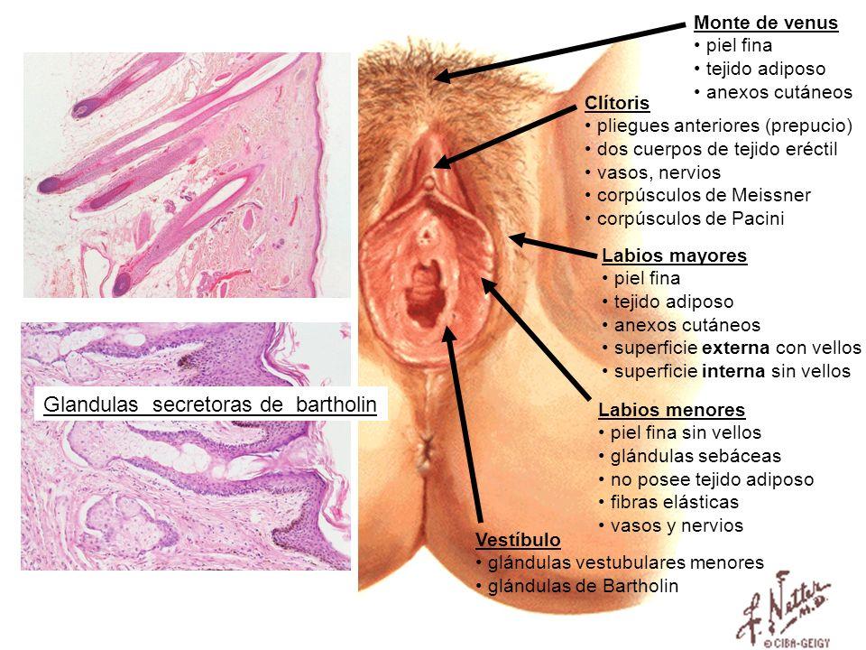 Labios mayores piel fina tejido adiposo anexos cutáneos superficie externa con vellos superficie interna sin vellos Labios menores piel fina sin vello