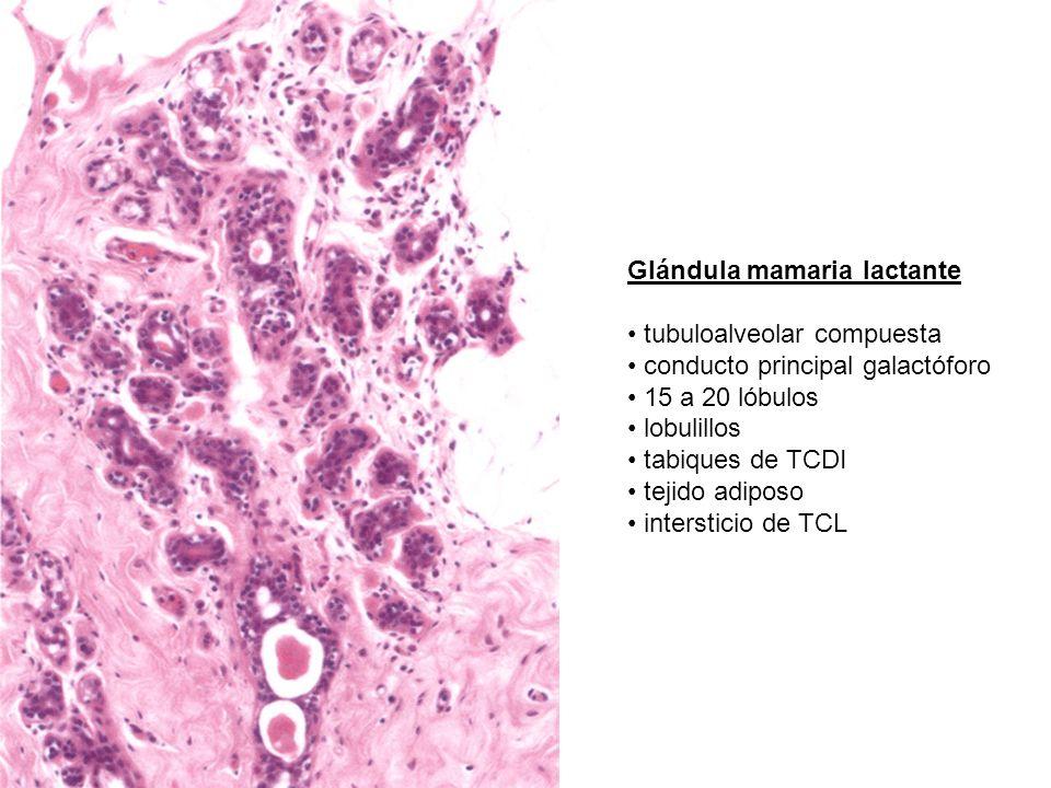 Glándula mamaria lactante tubuloalveolar compuesta conducto principal galactóforo 15 a 20 lóbulos lobulillos tabiques de TCDI tejido adiposo interstic