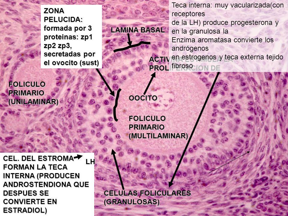 Etapa proliferativa nueva epitelización del recubrimiento del endometrio y renovación de la capa funcional..