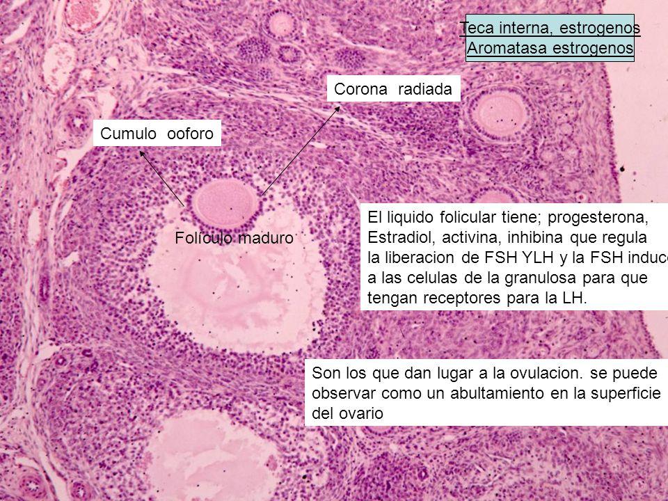 Folículo secundario Folículo terciario FOLICULO SECUNDARIO (PRESENCIA DE LICOR FOLICULAR) la proliferacion de la celulas de la granulosa depende de la FSH ANTRO CORONA RADIADA ANTRO MEMBRANA GRANULOSA Algunos degeneran y otros forman glandulas intersticiales