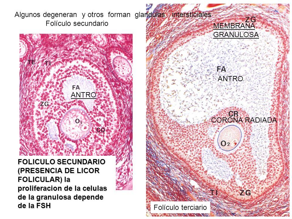 Folículo secundario Folículo terciario FOLICULO SECUNDARIO (PRESENCIA DE LICOR FOLICULAR) la proliferacion de la celulas de la granulosa depende de la
