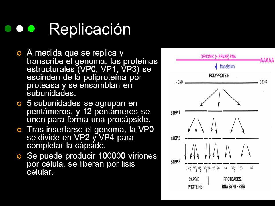Replicación A medida que se replica y transcribe el genoma, las proteínas estructurales (VP0, VP1, VP3) se escinden de la poliproteína por proteasa y