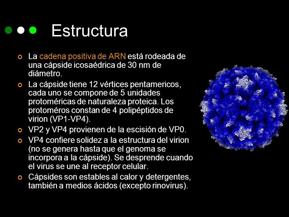 Estructura La cadena positiva de ARN está rodeada de una cápside icosaédrica de 30 nm de diámetro. La cápside tiene 12 vértices pentamericos, cada uno