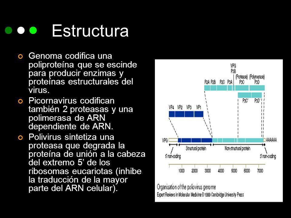 Estructura Genoma codifica una poliproteína que se escinde para producir enzimas y proteínas estructurales del virus. Picornavirus codifican también 2