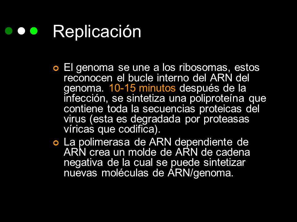 Replicación El genoma se une a los ribosomas, estos reconocen el bucle interno del ARN del genoma. 10-15 minutos después de la infección, se sintetiza
