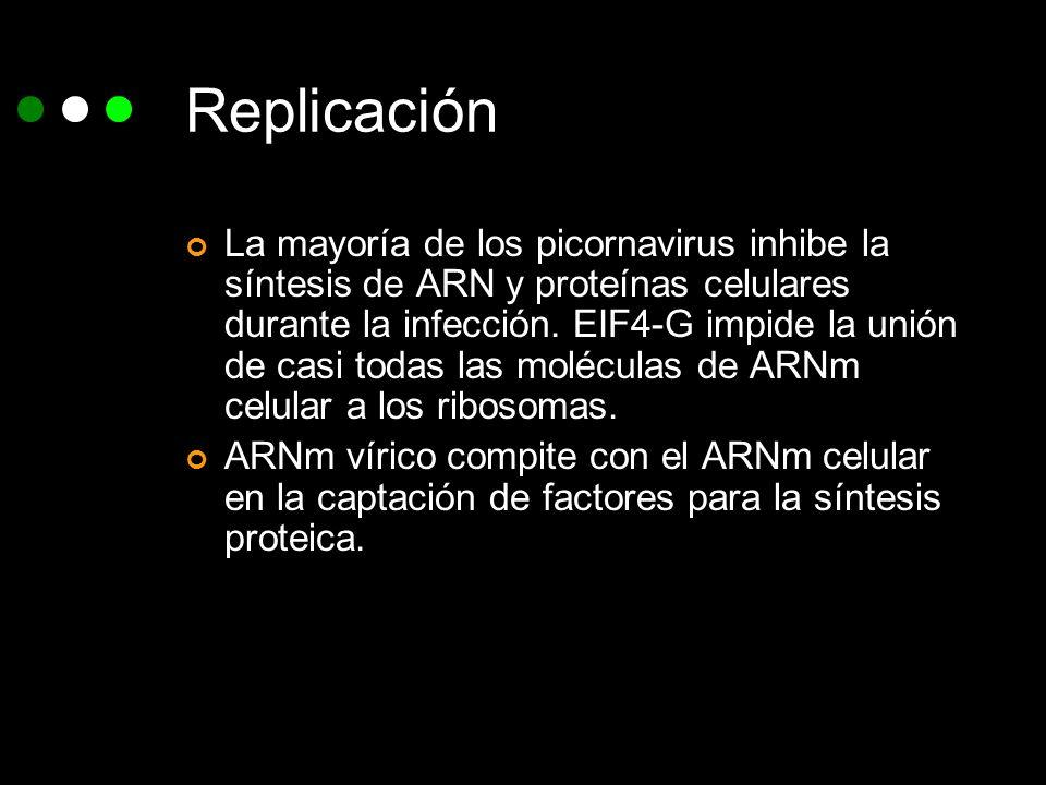 Replicación La mayoría de los picornavirus inhibe la síntesis de ARN y proteínas celulares durante la infección. EIF4-G impide la unión de casi todas