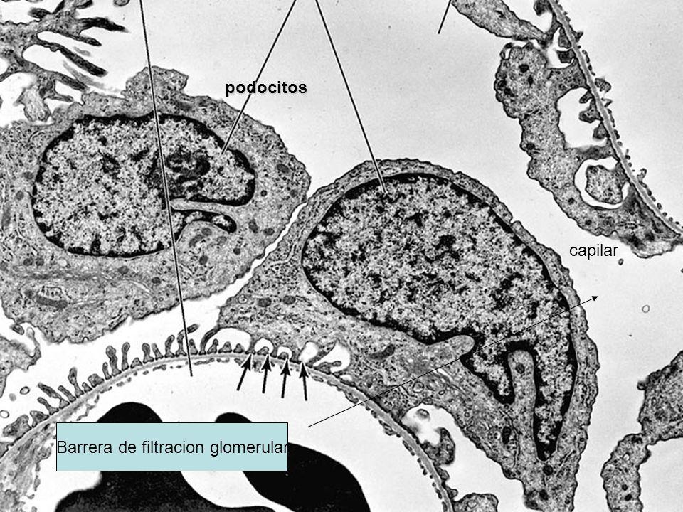 podocitos capilar Barrera de filtracion glomerular