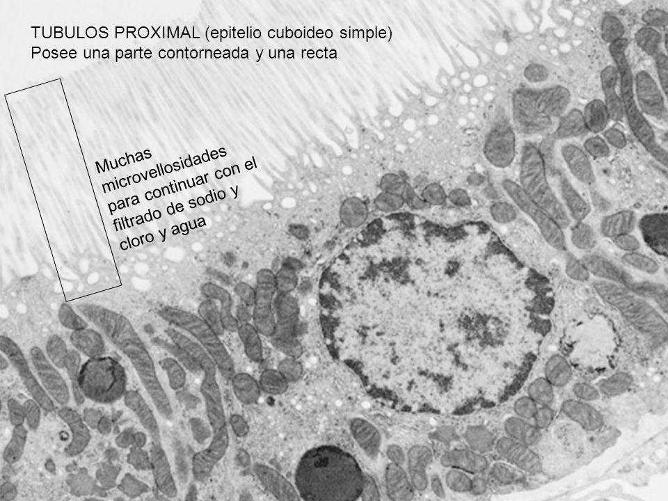 TUBULOS PROXIMAL (epitelio cuboideo simple) Posee una parte contorneada y una recta Muchas microvellosidades para continuar con el filtrado de sodio y