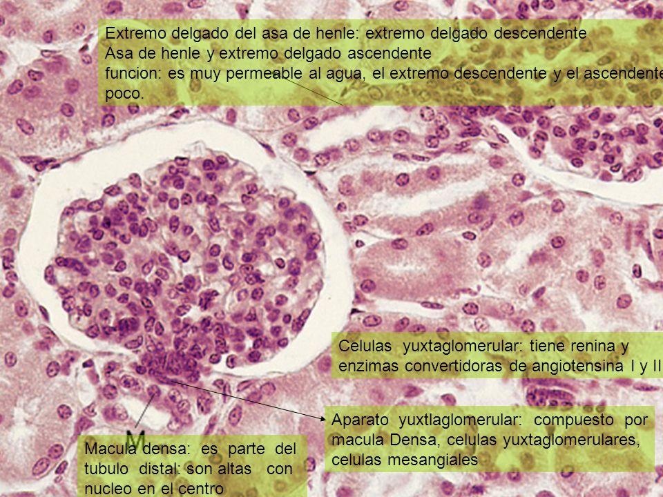 Macula densa: es parte del tubulo distal: son altas con nucleo en el centro Aparato yuxtlaglomerular: compuesto por macula Densa, celulas yuxtaglomeru