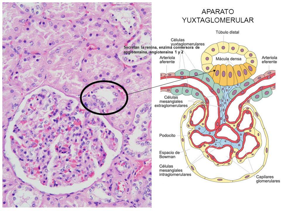 APARATO YUXTAGLOMERULAR Secretan la renina, enzima conversora de angiotensina, angiotensina 1 y 2