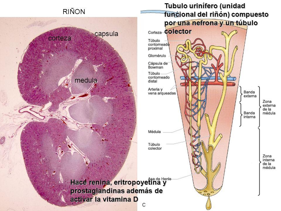 RIÑON Hace renina, eritropoyetina y prostaglandinas además de activar la vitamina D corteza medula capsula Tubulo urinífero (unidad funcional del riñó