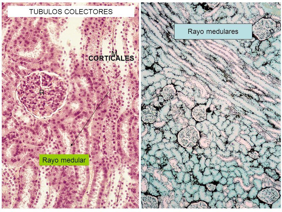 TUBULOS COLECTORES CORTICALES Rayo medular Rayo medulares