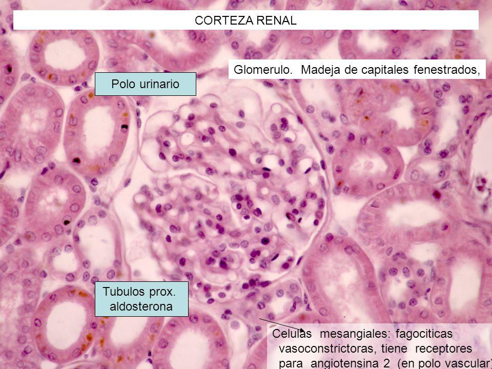 CORTEZA RENAL Glomerulo. Madeja de capitales fenestrados, Celulas mesangiales: fagociticas vasoconstrictoras, tiene receptores para angiotensina 2 (en
