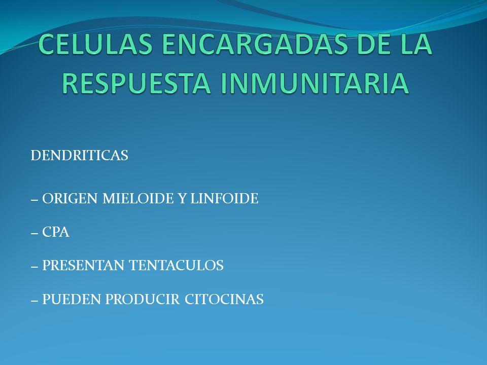 DENDRITICAS ORIGEN MIELOIDE Y LINFOIDE CPA PRESENTAN TENTACULOS PUEDEN PRODUCIR CITOCINAS