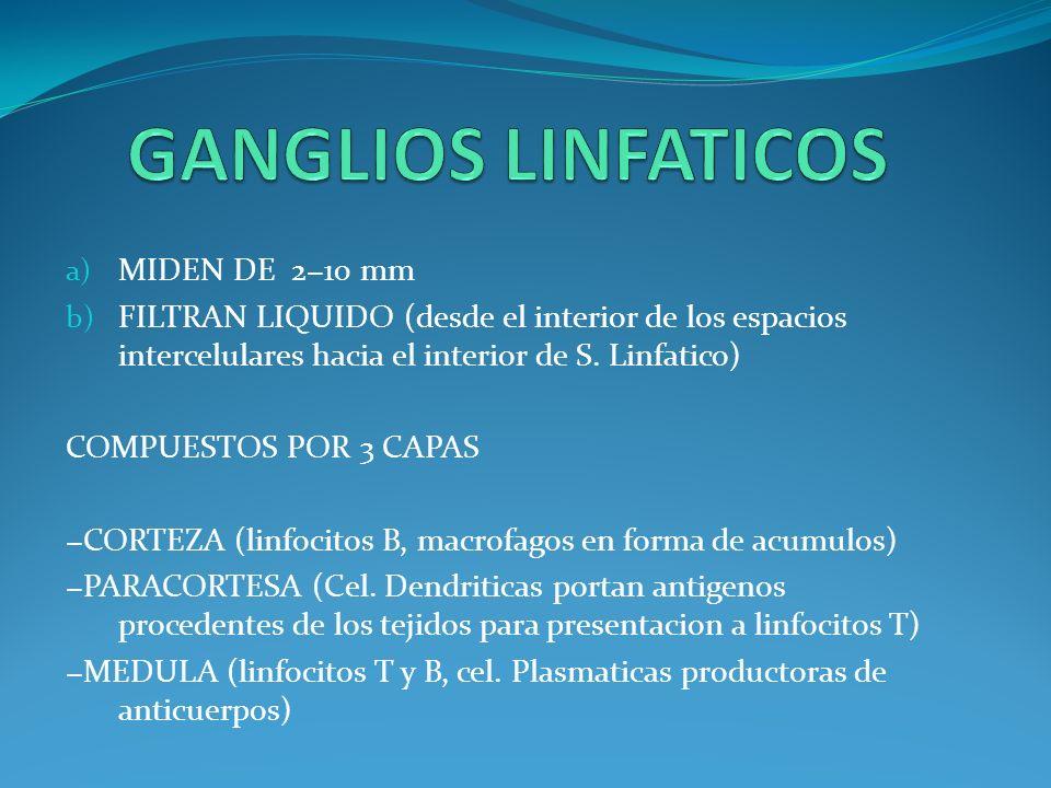 LINFOCITOS B PRODUCCION DE ANTICUERPOS.CPA. UNA VEZ ACTIVADOS SE CONVIERTEN EN CELULAS DE MEMORIA.