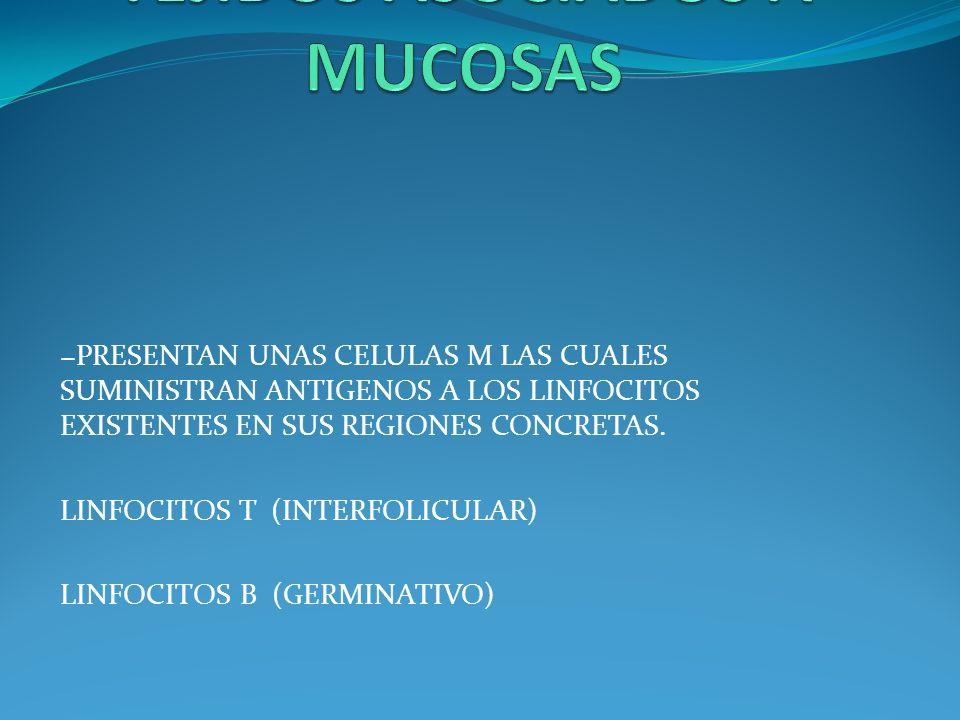 PRESENTAN UNAS CELULAS M LAS CUALES SUMINISTRAN ANTIGENOS A LOS LINFOCITOS EXISTENTES EN SUS REGIONES CONCRETAS. LINFOCITOS T (INTERFOLICULAR) LINFOCI