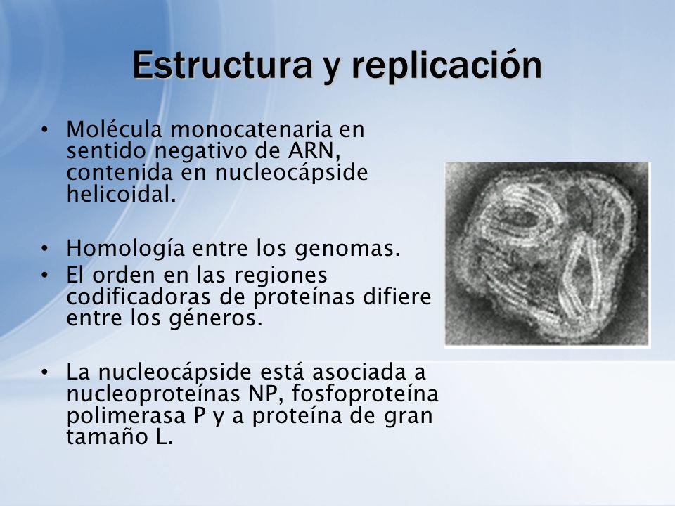 Estructura y replicación Molécula monocatenaria en sentido negativo de ARN, contenida en nucleocápside helicoidal. Homología entre los genomas. El ord
