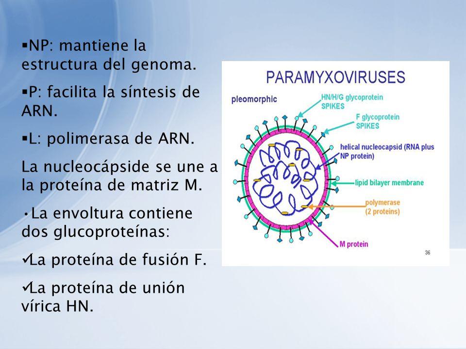 NP: mantiene la estructura del genoma. P: facilita la síntesis de ARN. L: polimerasa de ARN. La nucleocápside se une a la proteína de matriz M. La env