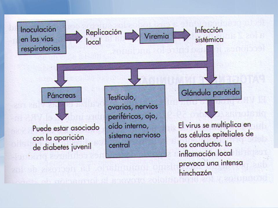 Diagnóstico El virus se puede aislar a partir: -Orina -Saliva -Faringe -Conducto de Stensen -Líquido Cefalorraquídeo El virus está presente en la saliva aproximadamente durante 5 días tras el inicio de los síntomas y en la orina hasta 2 semanas.