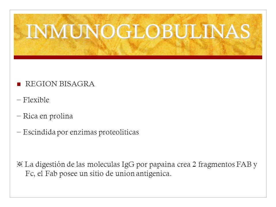 INMUNOGLOBULINAS REGION BISAGRA Flexible Rica en prolina Escindida por enzimas proteoliticas La digestión de las moleculas IgG por papaina crea 2 frag