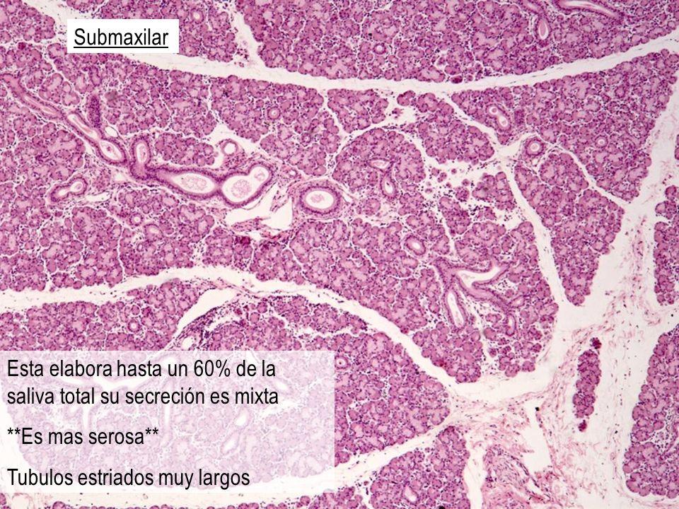Submaxilar Esta elabora hasta un 60% de la saliva total su secreción es mixta **Es mas serosa** Tubulos estriados muy largos