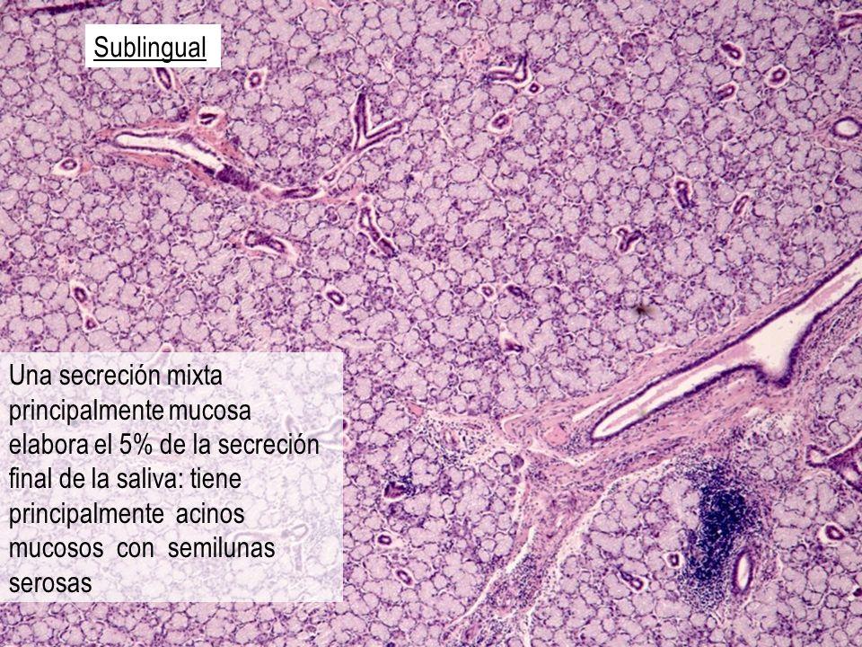Sublingual Una secreción mixta principalmente mucosa elabora el 5% de la secreción final de la saliva: tiene principalmente acinos mucosos con semilun
