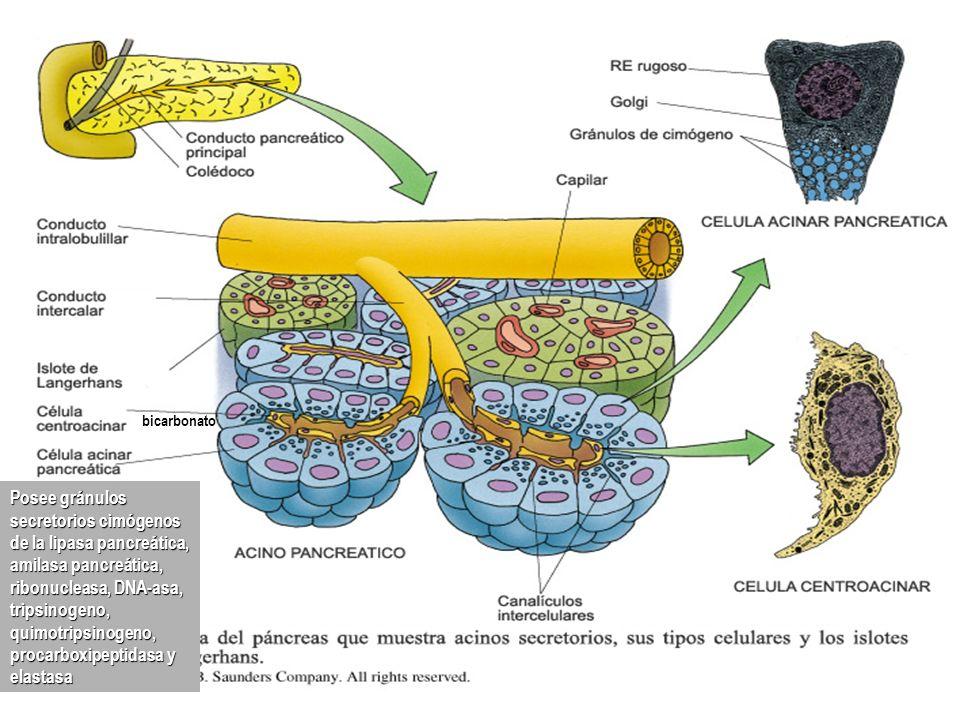 bicarbonato Posee gránulos secretorios cimógenos de la lipasa pancreática, amilasa pancreática, ribonucleasa, DNA-asa, tripsinogeno, quimotripsinogeno