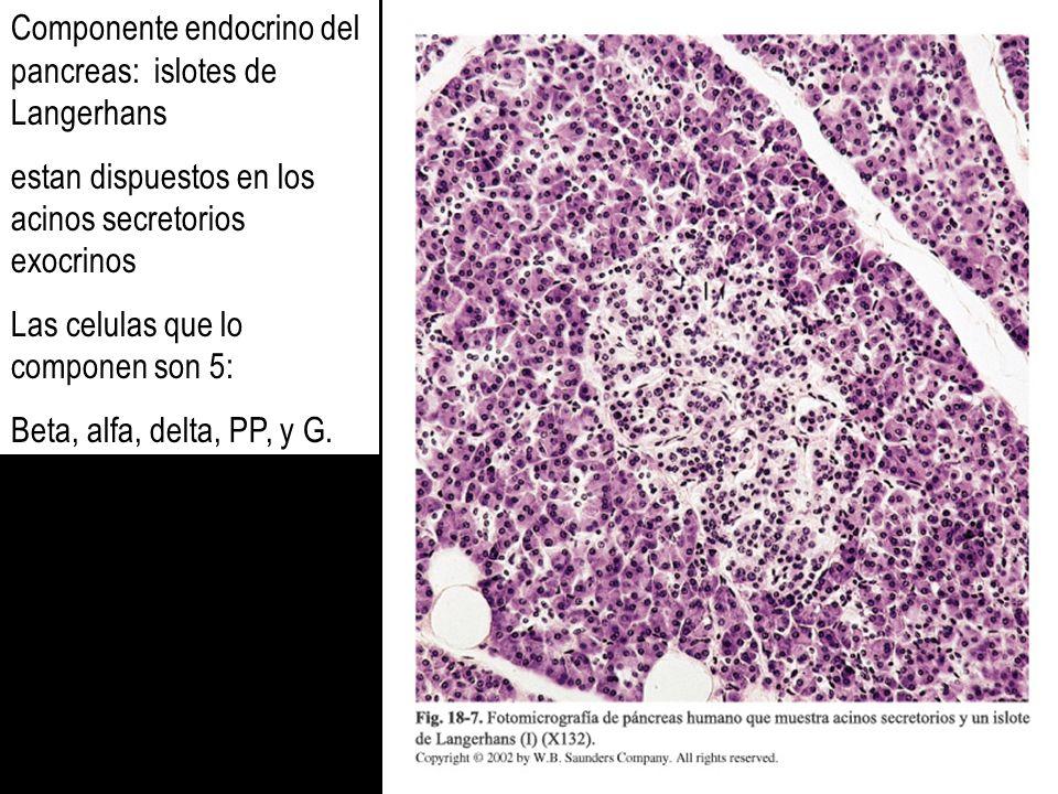 Componente endocrino del pancreas: islotes de Langerhans estan dispuestos en los acinos secretorios exocrinos Las celulas que lo componen son 5: Beta,