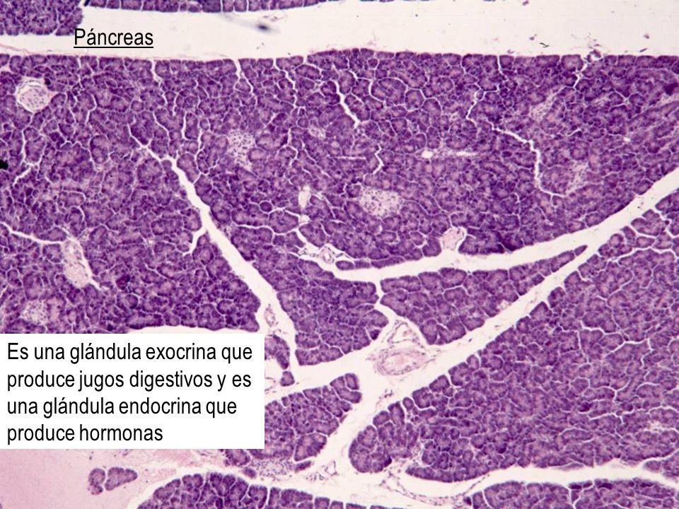 Páncreas Es una glándula exocrina que produce jugos digestivos y es una glándula endocrina que produce hormonas