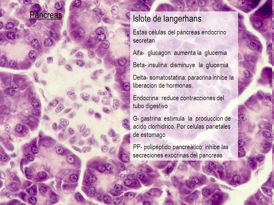 Páncreas Islote de langerhans Estas células del páncreas endocrino secretan Alfa- glucagon: aumenta la glucemia Beta- insulina: disminuye la glucemia
