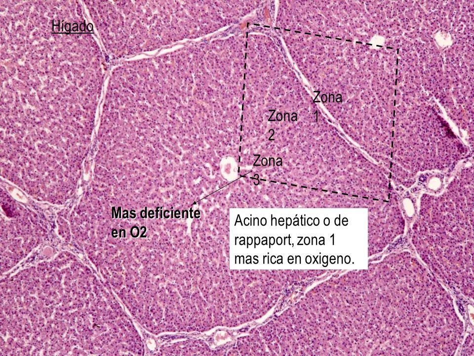 Hígado Acino hepático o de rappaport, zona 1 mas rica en oxigeno. Zona 3 Zona 2 Zona 1 Mas deficiente en O2