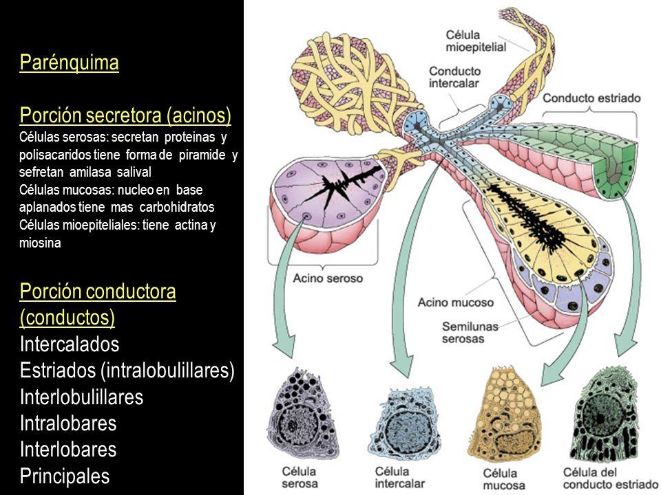 Parénquima Porción secretora (acinos) Células serosas: secretan proteinas y polisacaridos tiene forma de piramide y sefretan amilasa salival Células m