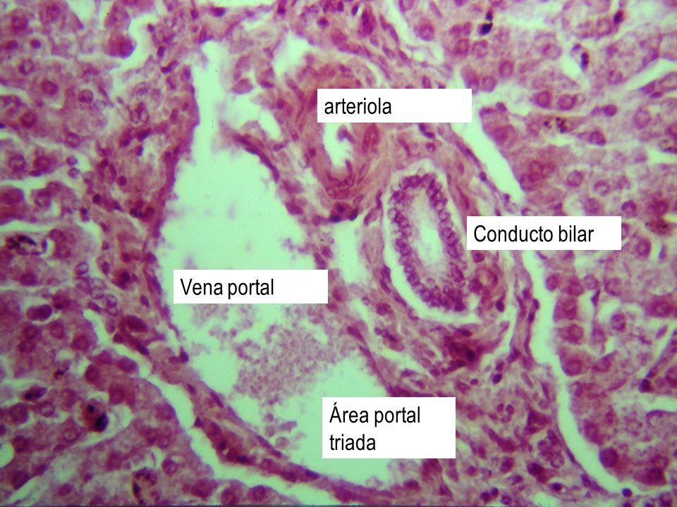 Área portal triada Conducto bilar arteriola Vena portal