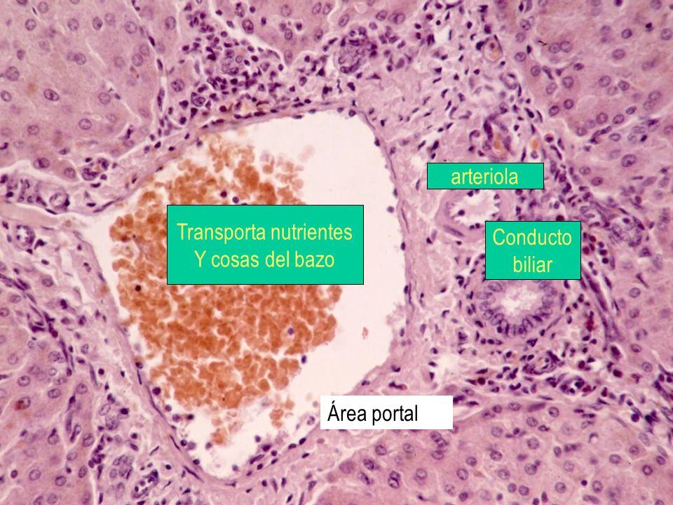 Área portal arteriola Conducto biliar Transporta nutrientes Y cosas del bazo