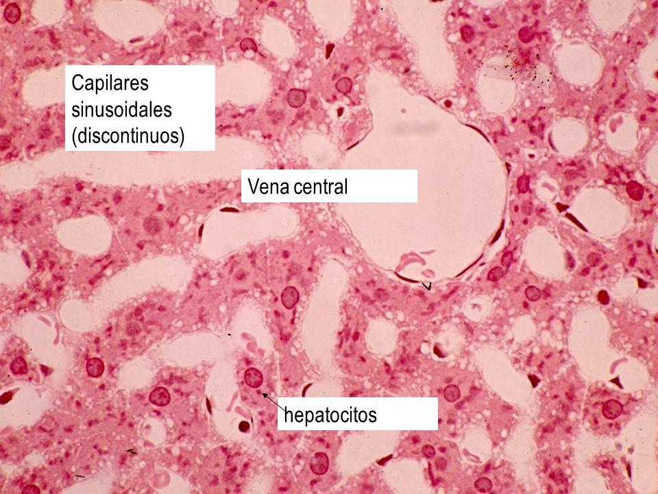 Capilares sinusoidales (discontinuos) Vena central hepatocitos