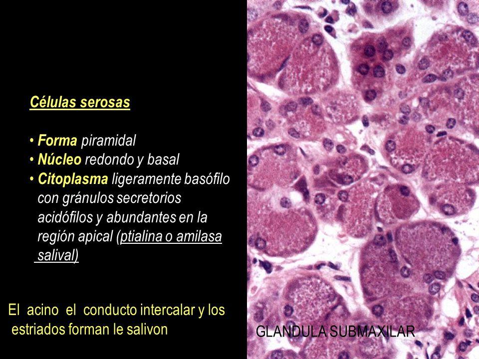 Células mucosas Forma piramidal truncada Núcleo aplanado y basal Citoplasma pálido debido a la presencia de múltiples gránulos secretorios con mucinógeno GLANDULA SUBLIGUAL