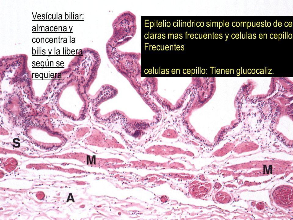 Vesícula biliar: almacena y concentra la bilis y la libera según se requiera Epitelio cilindrico simple compuesto de celulas claras mas frecuentes y c