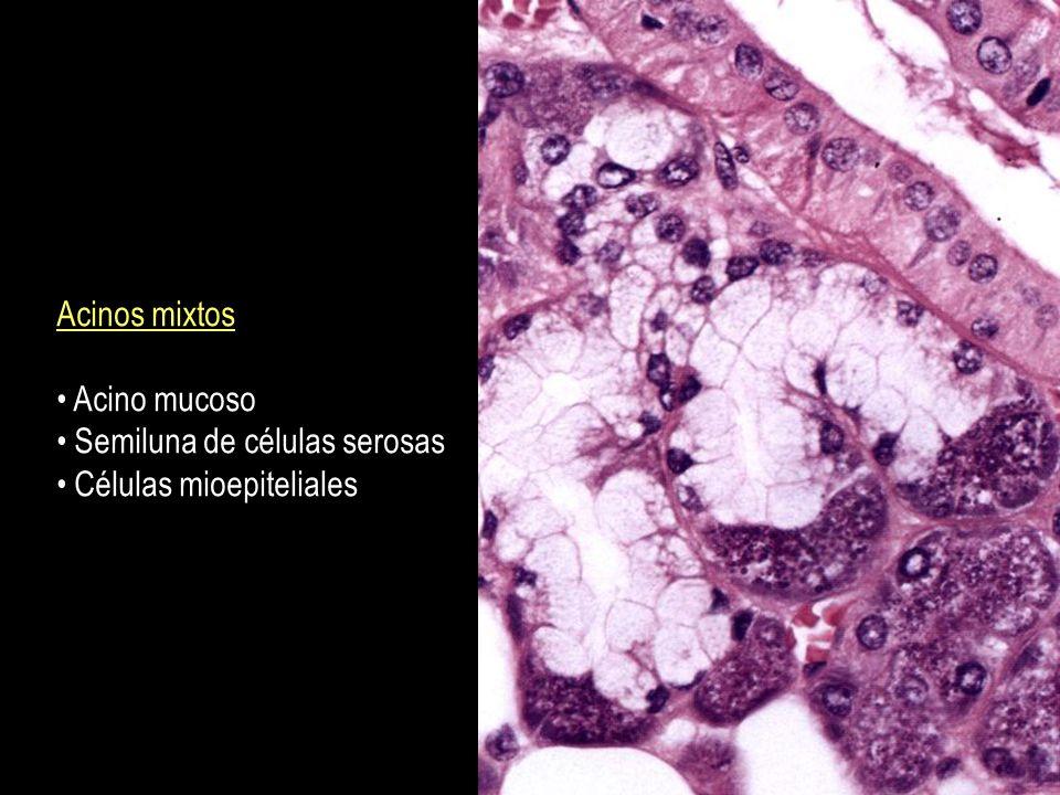 Componente endocrino del pancreas: islotes de Langerhans estan dispuestos en los acinos secretorios exocrinos Las celulas que lo componen son 5: Beta, alfa, delta, PP, y G.