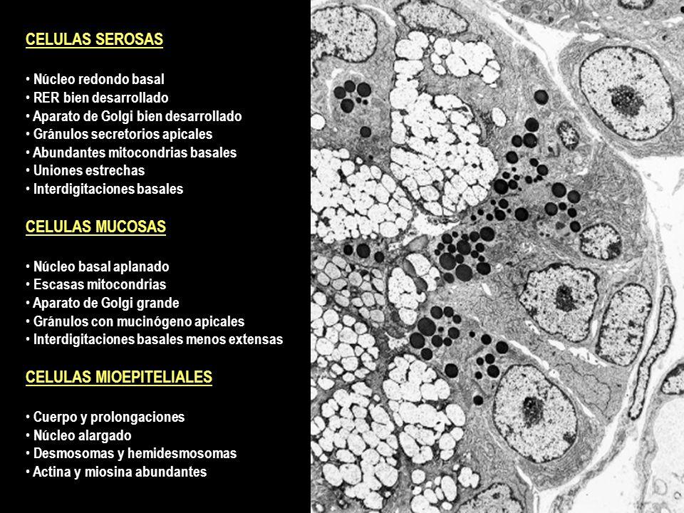 CELULAS SEROSAS Núcleo redondo basal RER bien desarrollado Aparato de Golgi bien desarrollado Gránulos secretorios apicales Abundantes mitocondrias ba