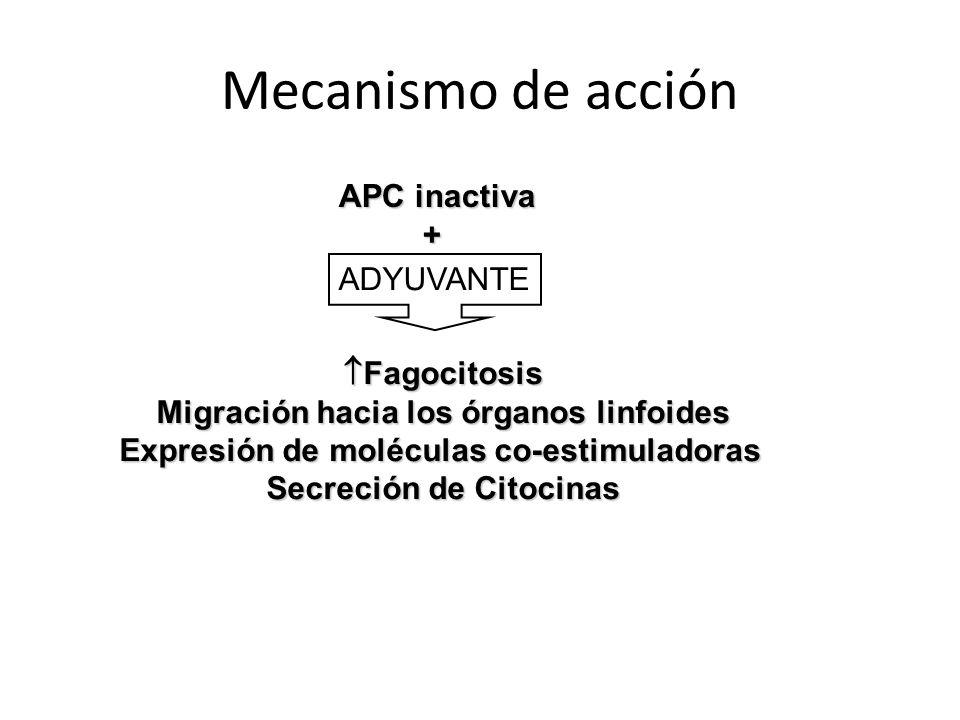 Mecanismo de acción APC inactiva + Fagocitosis Fagocitosis Migración hacia los órganos linfoides Expresión de moléculas co-estimuladoras Secreción de