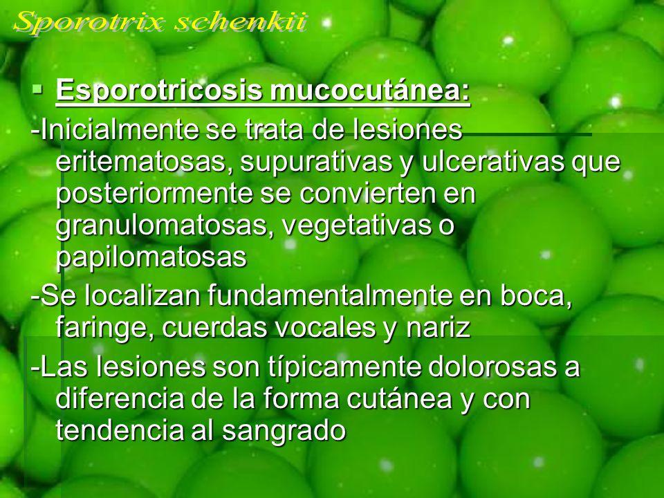 Esporotricosis mucocutánea: Esporotricosis mucocutánea: -Inicialmente se trata de lesiones eritematosas, supurativas y ulcerativas que posteriormente