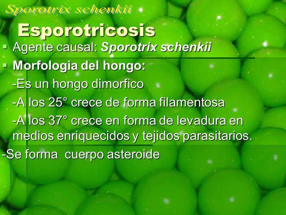 Esporotricosis Agente causal: Sporotrix schenkii Agente causal: Sporotrix schenkii Morfologia del hongo: Morfologia del hongo: -Es un hongo dimorfico