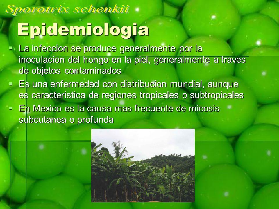 Epidemiologia La infeccion se produce generalmente por la inoculacion del hongo en la piel, generalmente a traves de objetos contaminados La infeccion