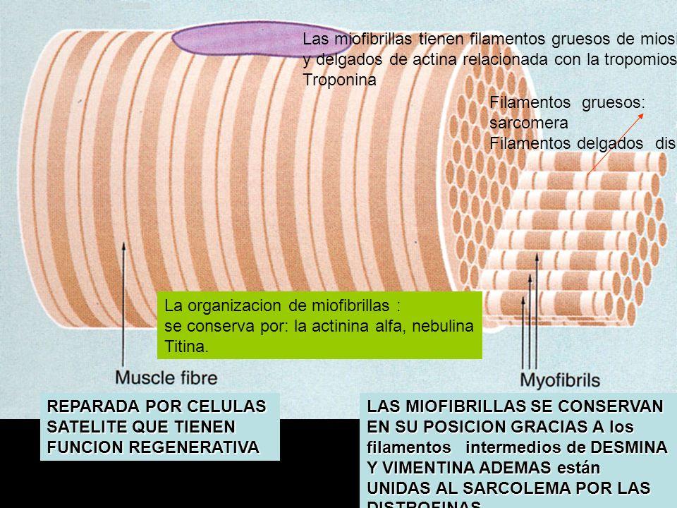 LAS MIOFIBRILLAS SE CONSERVAN EN SU POSICION GRACIAS A los filamentos intermedios de DESMINA Y VIMENTINA ADEMAS están UNIDAS AL SARCOLEMA POR LAS DIST