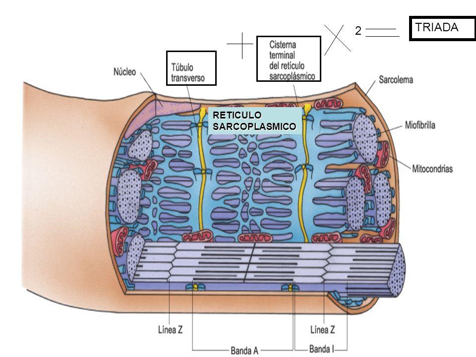 2 TRIADA RETICULO SARCOPLASMICO