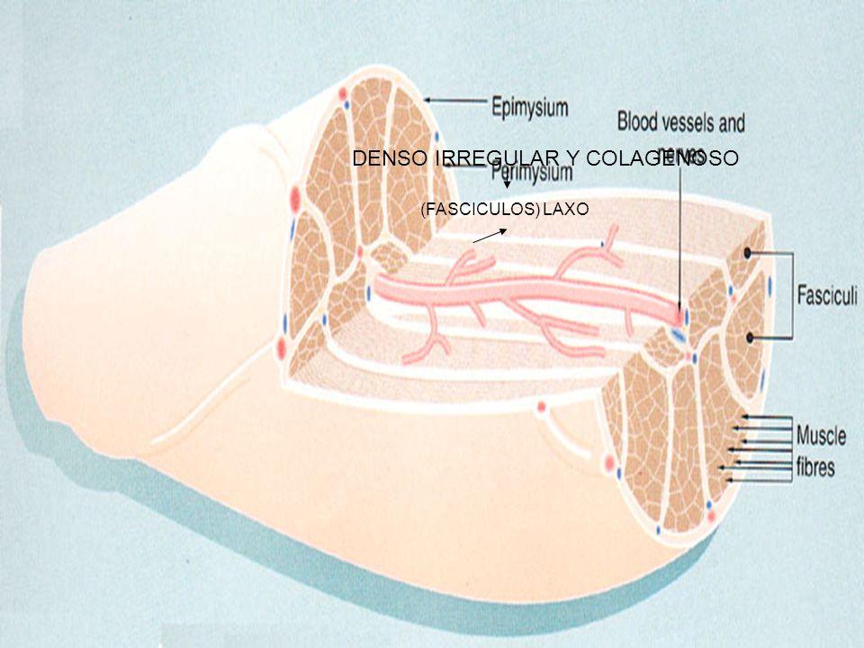 CORTE TRANSVERSAL DE MUSCULO LISO NO POSEE TROPONINA, POSEE DESMINA Y VIMENTINA EN EL MUSCULO UNITARIO Y SOLO DESMINA EN EL MULTIUNITARIO La Regeneración del músculo se lleva a cabo por la Mitosis de las celulas