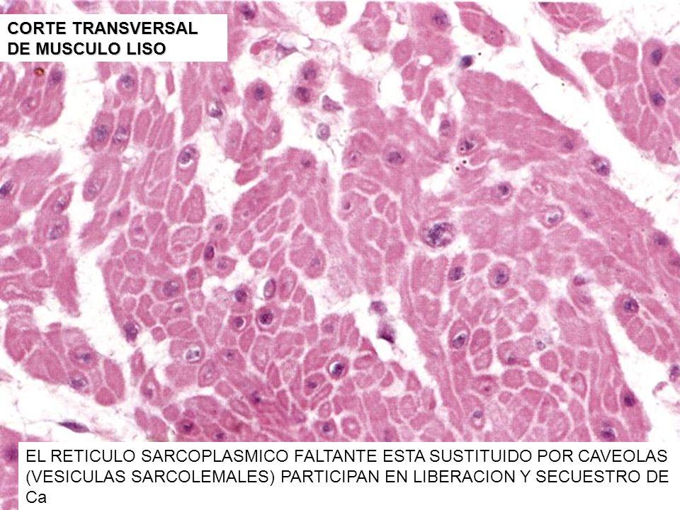 CORTE TRANSVERSAL DE MUSCULO LISO EL RETICULO SARCOPLASMICO FALTANTE ESTA SUSTITUIDO POR CAVEOLAS (VESICULAS SARCOLEMALES) PARTICIPAN EN LIBERACION Y